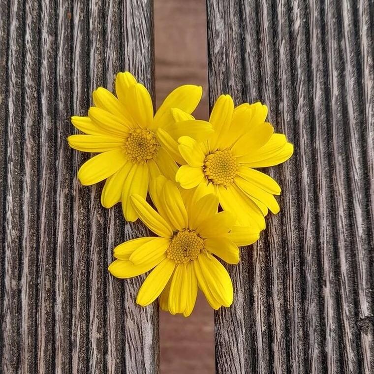 Πώς να χρησιμοποιήσεις το λουλούδι arnica για φυσική ανακούφιση από τον πόνο